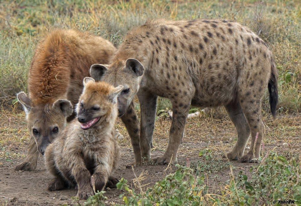 Tüpfelhyäne/Spotted hyena/Fisi