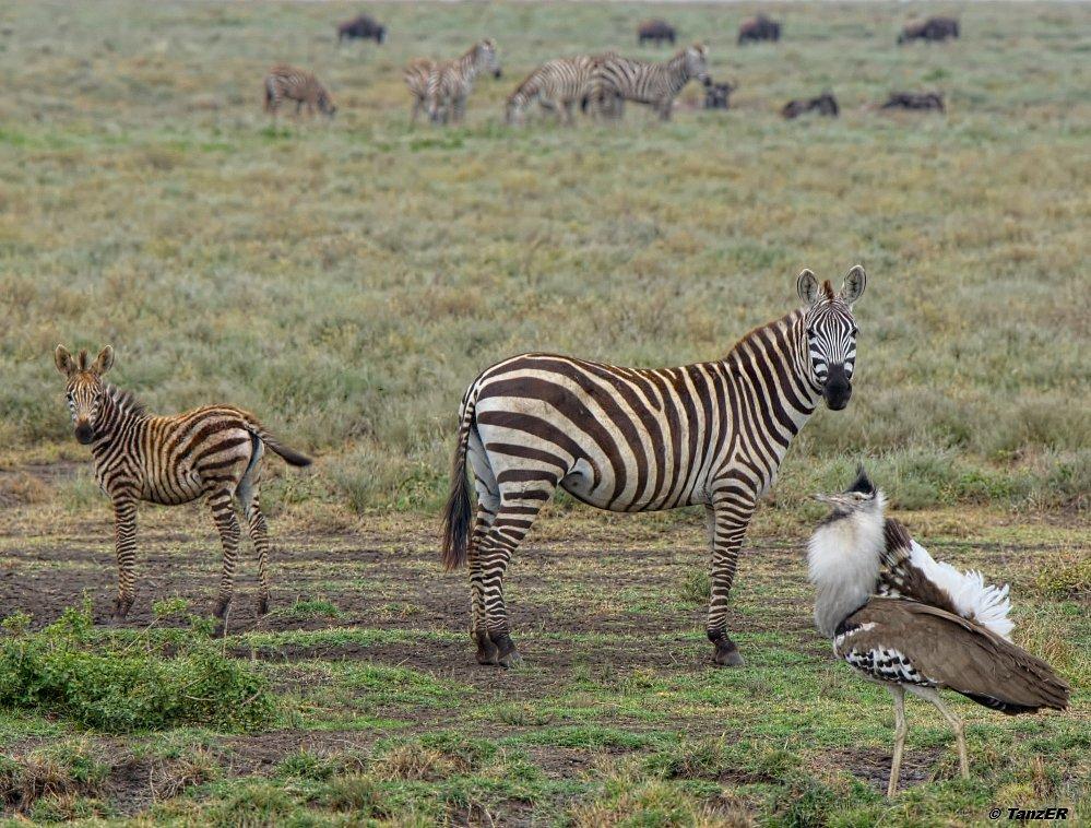 Zebra; Riesentrappe/Kori bustard