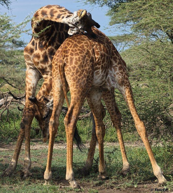Giraffe/Twiga